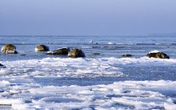 Zwanen tussen ijsijsschollen in de winter Stock Foto's