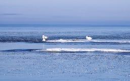 Zwanen tussen ijsijsschollen in de winter Stock Fotografie