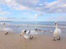 Zwanen, Zeemeeuw en vogels die uit door het strand hangen stock foto