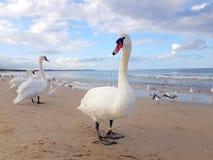 Zwanen, Zeemeeuw en vogels die uit door het strand hangen royalty-vrije stock fotografie