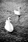 Zwanen - zwart wit Stock Foto's