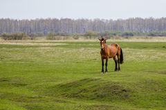 Zwanger paard in het weiland die de camera bekijken stock afbeeldingen