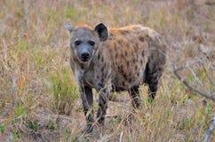 Zwangere Bevlekte hyena (Crocuta-crocuta) Royalty-vrije Stock Afbeeldingen