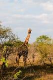 Zwangere giraf in Zuid-Afrika Stock Afbeeldingen