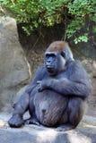 Zwangere gorilla Stock Foto's