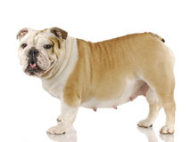 Zwangere hond stock afbeeldingen