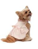 Zwangere hond stock foto's