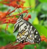 Zwangere monarchvlinder Stock Afbeelding