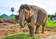 Zwangere olifant Stock Fotografie