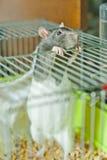 Zwangere rat Stock Afbeelding