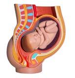 Zwangere vrouw. Kleurrijke anatomie. Geïsoleerde. Royalty-vrije Stock Foto