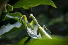 Zwangere vrouwelijke Bidsprinkhanen of Bidsprinkhanen Religiosa in een natuurlijke habitat Het zit op de bladeren van Magnoliasus stock fotografie