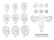 Zwangerschapsstadia met proces van bemesting en ontwikkeling van embryo royalty-vrije illustratie