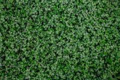 Zwarci gąszcze wiele mali round zieleni liście tropikalna roślina zdjęcie stock