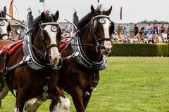 Zware Paardenopkomst die in de belangrijkste arena tonen stock afbeelding
