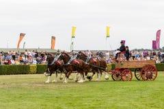 Zware Paardenopkomst die in de belangrijkste arena tonen royalty-vrije stock foto's