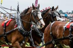 Zware Paardenopkomst die in de belangrijkste arena tonen royalty-vrije stock foto
