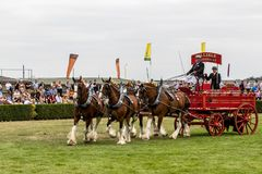 Zware Paardenopkomst die in de belangrijkste arena tonen stock afbeeldingen