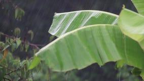 Zware regen die op banaanbladeren vallen stock video