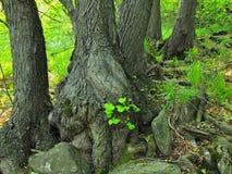 Zware verwarde wortels van bomen in park, donkere bruine of grijze schors op boomstam, verse groene gras en varenstelen Royalty-vrije Stock Afbeeldingen
