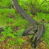 Zware verwarde wortels van bomen in park, donkere bruine of grijze schors op boomstam, verse groene gras en varenstelen Royalty-vrije Stock Afbeelding