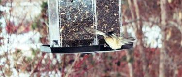 Zwart-afgedekte Chickadee Stock Fotografie