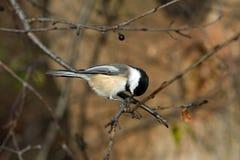 Zwart-afgedekte Chickadee royalty-vrije stock fotografie