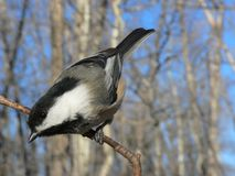 Zwart-afgedekte Chickadee stock afbeeldingen