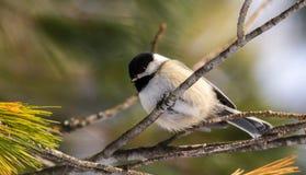 Zwart-afgedekte Chickadee Stock Foto's