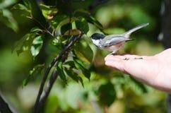 Zwart-afgedekte Chickadee die op een Hand wordt neergestreken Royalty-vrije Stock Foto