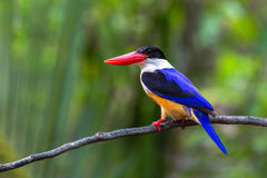 Zwart-afgedekte Ijsvogel Royalty-vrije Stock Afbeeldingen