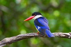 Zwart-afgedekte Ijsvogel Stock Afbeeldingen