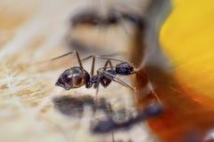 Zwart Ant Eating Honey in Aard royalty-vrije stock afbeeldingen