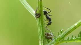 Zwart Ant Extracts Honeydew From Treehopper stock footage