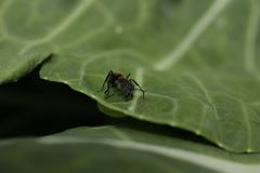 Zwart Ant Walking On een Groen Blad royalty-vrije stock afbeeldingen