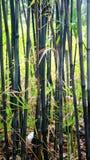 Zwart bamboe Stock Foto