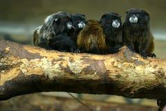 Zwart-bedekt tamarins of Saguinus-nigricollis Stock Afbeelding