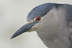 Zwart-bekroonde nacht-reiger, Nycticorax nycticorax Royalty-vrije Stock Afbeelding