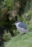 Zwart-bekroonde nacht-reiger, Nycticorax nycticorax Stock Foto