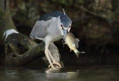 Zwart-bekroonde Nachtreiger, Nycticorax die nycticorax jagen Stock Foto