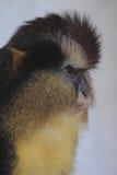 Zwart-betaalde bekroonde aap Royalty-vrije Stock Afbeeldingen