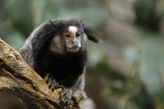 Zwart-Black-tufted marmoset Stock Fotografie