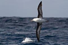 Zwart-browed albatros die over de golven van de Atlantische Oceaan vliegen Royalty-vrije Stock Fotografie