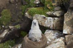 Zwart-browed Albatroskuiken op West Point-Eiland royalty-vrije stock fotografie