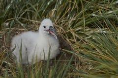 Zwart-browed Albatroskuiken op West Point-Eiland royalty-vrije stock afbeeldingen