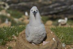 Zwart-browed Albatroskuiken op West Point-Eiland royalty-vrije stock afbeelding