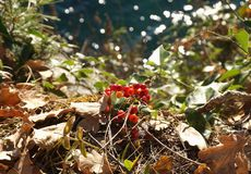Zwart Bryony Dioscorea communis of Communis zaden van Tamus in de struik dichtbij het overzees royalty-vrije stock foto