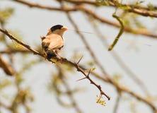 Zwart-Caped sociale wever met nestmateriaal stock afbeelding