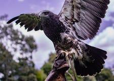 Zwart-Chested buizerd-Eagle wordt gehouden omhoog door haar trainer stock foto