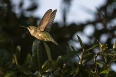 Zwart-Chinned Kolibrie Archilochus Alexandri Stock Foto's